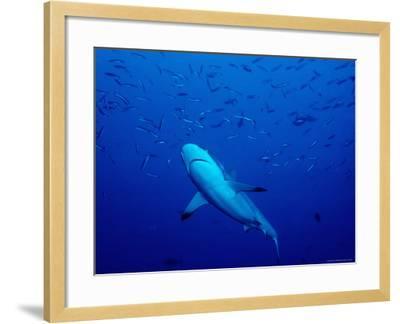 Grey Reef Shark Swimming Amongst Fish, Bangkok Pass, Rabaul Reefs-Robert Halstead-Framed Photographic Print