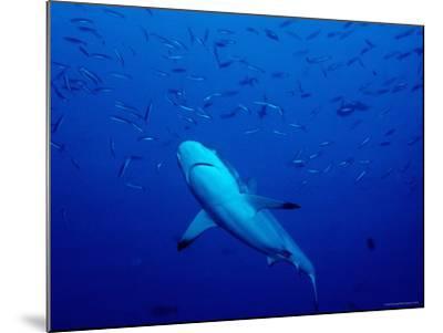 Grey Reef Shark Swimming Amongst Fish, Bangkok Pass, Rabaul Reefs-Robert Halstead-Mounted Photographic Print