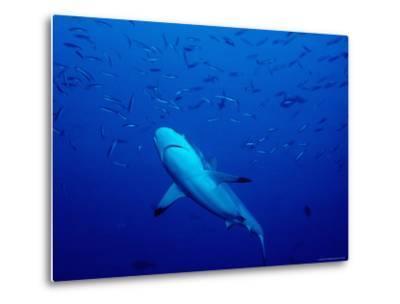 Grey Reef Shark Swimming Amongst Fish, Bangkok Pass, Rabaul Reefs-Robert Halstead-Metal Print