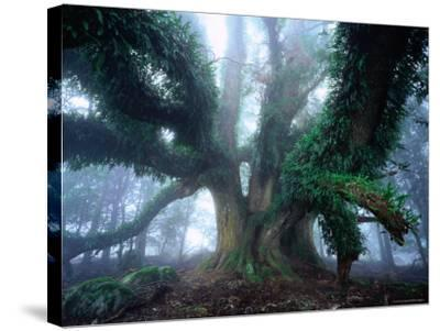 Giant Myrtle-Rob Blakers-Stretched Canvas Print