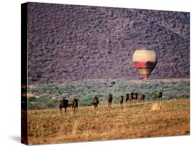 Wildebeests and Hot-Air Balloon-Frans Lemmens-Stretched Canvas Print