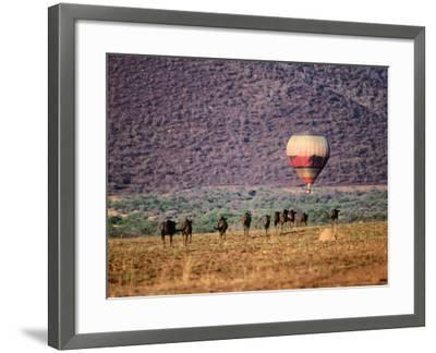 Wildebeests and Hot-Air Balloon-Frans Lemmens-Framed Photographic Print