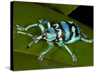 Colourful Weevil, on Leaf-Johnny Haglund-Stretched Canvas Print