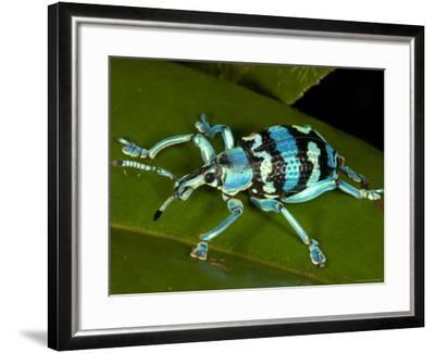 Colourful Weevil, on Leaf-Johnny Haglund-Framed Photographic Print