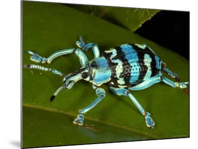 Colourful Weevil, on Leaf-Johnny Haglund-Mounted Photographic Print