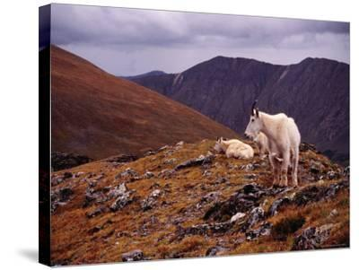 Front Range Mountain Goats on Gray's Peak in the Rockies-Karl Lehmann-Stretched Canvas Print