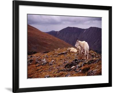 Front Range Mountain Goats on Gray's Peak in the Rockies-Karl Lehmann-Framed Photographic Print