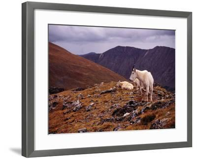 Front Range Mountain Goats on Gray's Peak in the Rockies-Karl Lehmann-Framed Photographic Print