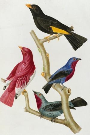 Chatterer Birds, c.1852-1856-Jean-Theodore Descourtilz-Stretched Canvas Print