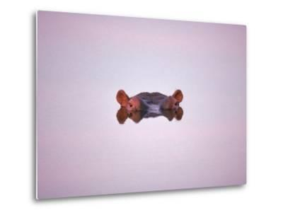 Hippopotamus Submerged, Eyes and Ears Just Above Water.Kruger National Park, South Africa-Tony Heald-Metal Print