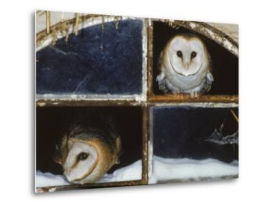 Barn Owls Looking out of a Barn Window Germany-Dietmar Nill-Metal Print