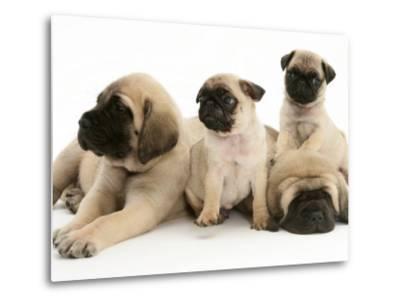 Fawn Pug Pups with Fawn English Mastiff Puppies-Jane Burton-Metal Print