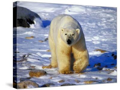 Polar Bear Walking on Snow Covered Surface--Stretched Canvas Print