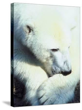 Polar Bear Chewing at Paw--Stretched Canvas Print