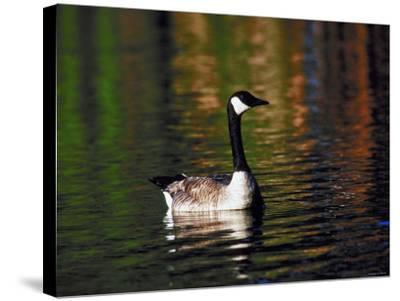 Canada Goose Swimming in Water--Stretched Canvas Print
