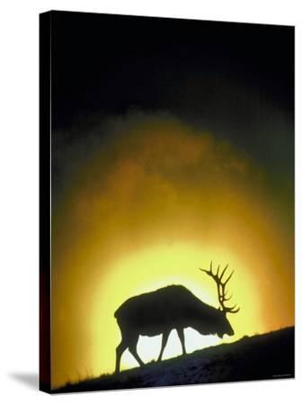 Elk Grazing in Field with Sun Setting Behind--Stretched Canvas Print