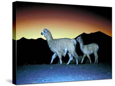 Family of Llamas Walking at Sunset--Stretched Canvas Print