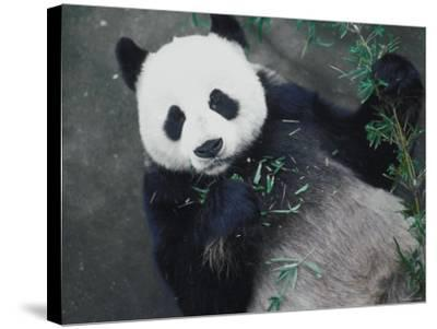 Messy Panda Lying Down While Eating Bamboo Shoots--Stretched Canvas Print