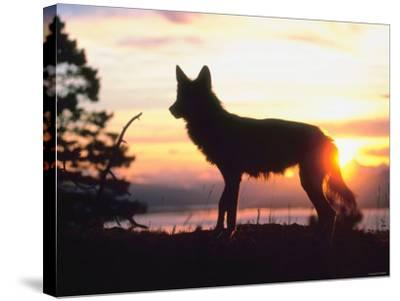 Wild Gray Wolf Standing in Nature and Silhouetted by Glowing Sunset--Stretched Canvas Print