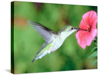 Hummingbird Hovering over Beautiful Pink Petunia--Stretched Canvas Print