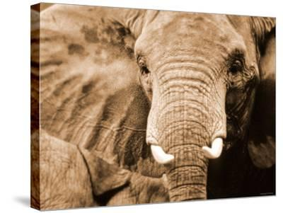 Close Up of Wrinkled Head of African Elephant--Stretched Canvas Print