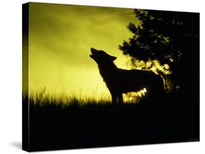Silhouette of Gray Wolf Standing in Field While Howling--Stretched Canvas Print