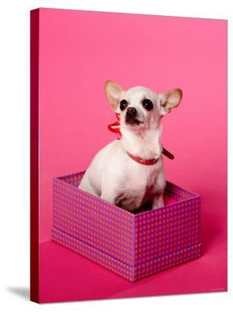 Small Chihuahua Sitting in Gift Box--Stretched Canvas Print