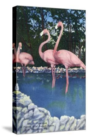 St. Petersburg, Florida, View of Pink Flamingos at Florida Wild Animal Ranch-Lantern Press-Stretched Canvas Print
