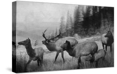 View of a Small Herd of Roosevelt Elk-Lantern Press-Stretched Canvas Print