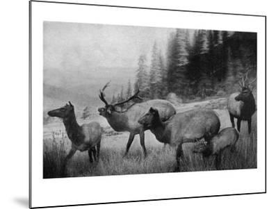 View of a Small Herd of Roosevelt Elk-Lantern Press-Mounted Art Print