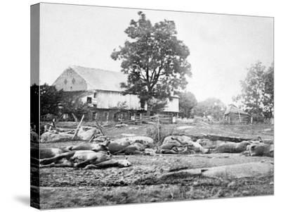 Dead Horses on the Battlefield, Civil War-Lantern Press-Stretched Canvas Print