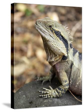 Eastern Water Dragon, Australia-David Wall-Stretched Canvas Print