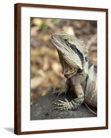 Eastern Water Dragon, Australia-David Wall-Framed Photographic Print