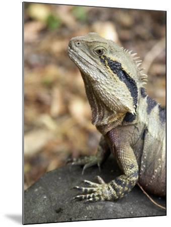 Eastern Water Dragon, Australia-David Wall-Mounted Photographic Print