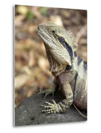 Eastern Water Dragon, Australia-David Wall-Metal Print