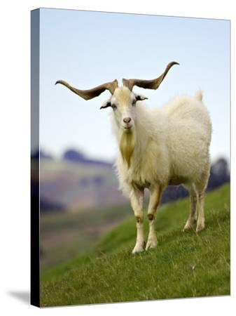 Goat, Taieri, near Dunedin, South Island, New Zealand-David Wall-Stretched Canvas Print