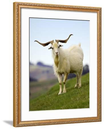 Goat, Taieri, near Dunedin, South Island, New Zealand-David Wall-Framed Photographic Print