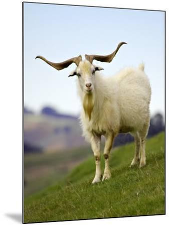 Goat, Taieri, near Dunedin, South Island, New Zealand-David Wall-Mounted Photographic Print