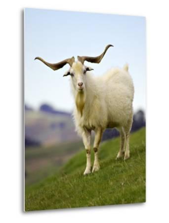 Goat, Taieri, near Dunedin, South Island, New Zealand-David Wall-Metal Print