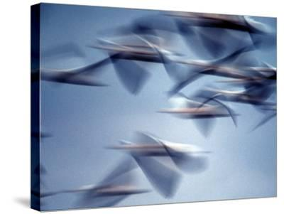 Snow Geese in Flight at the Skagit Flats, Washington, USA-Charles Sleicher-Stretched Canvas Print