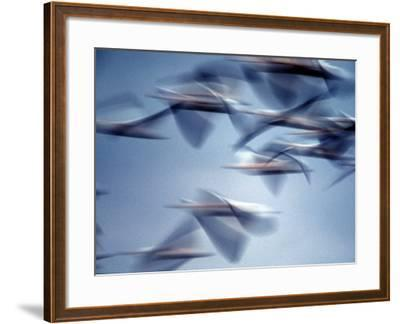 Snow Geese in Flight at the Skagit Flats, Washington, USA-Charles Sleicher-Framed Photographic Print