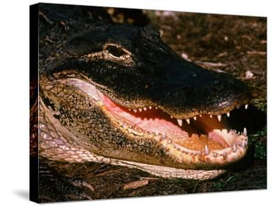 Alligator, Everglades National Park, Florida, USA-Charles Sleicher-Stretched Canvas Print