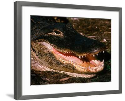 Alligator, Everglades National Park, Florida, USA-Charles Sleicher-Framed Photographic Print