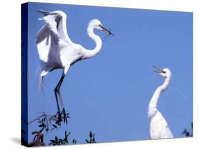 Great Egret in a Courtship Display, Florida, USA-Charles Sleicher-Stretched Canvas Print