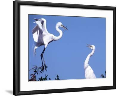 Great Egret in a Courtship Display, Florida, USA-Charles Sleicher-Framed Photographic Print
