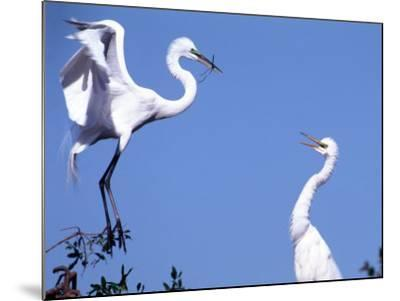 Great Egret in a Courtship Display, Florida, USA-Charles Sleicher-Mounted Photographic Print
