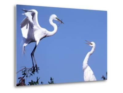 Great Egret in a Courtship Display, Florida, USA-Charles Sleicher-Metal Print