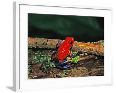 Strawberry Poison Dart Frog, Rainforest, Costa Rica-Charles Sleicher-Framed Photographic Print