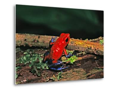 Strawberry Poison Dart Frog, Rainforest, Costa Rica-Charles Sleicher-Metal Print