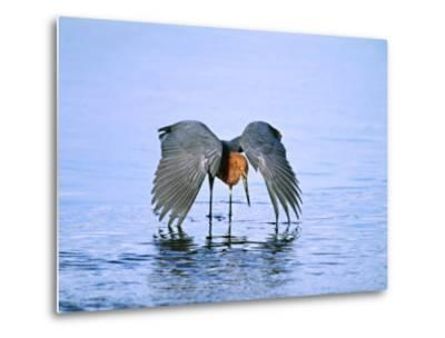 Reddish Egret Fishing, Ding Darling National Wildlife Refuge, Sanibel Island, Florida, USA-Charles Sleicher-Metal Print